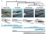 L'évolution des fanons des baleines. Photographie: Marx et al., 2016/Thèse du Museum Victoria.